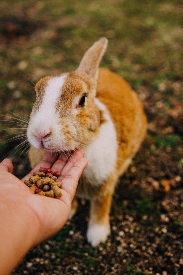 okunoshima-island-rabbits
